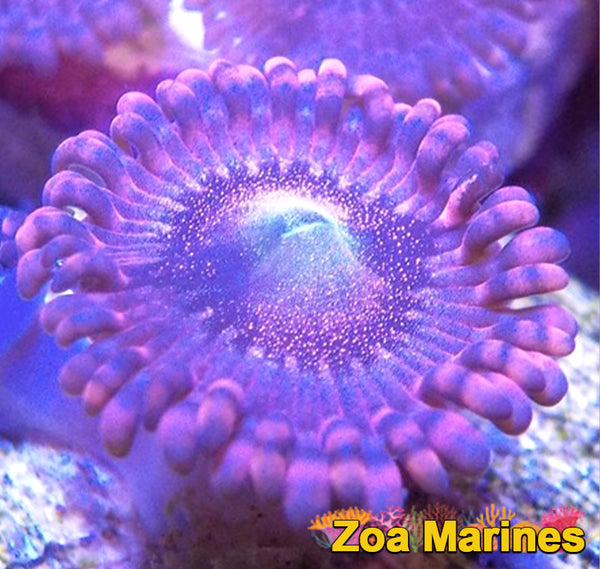 Zoa 'Playboy Bunnys' 1 to 3 headers.