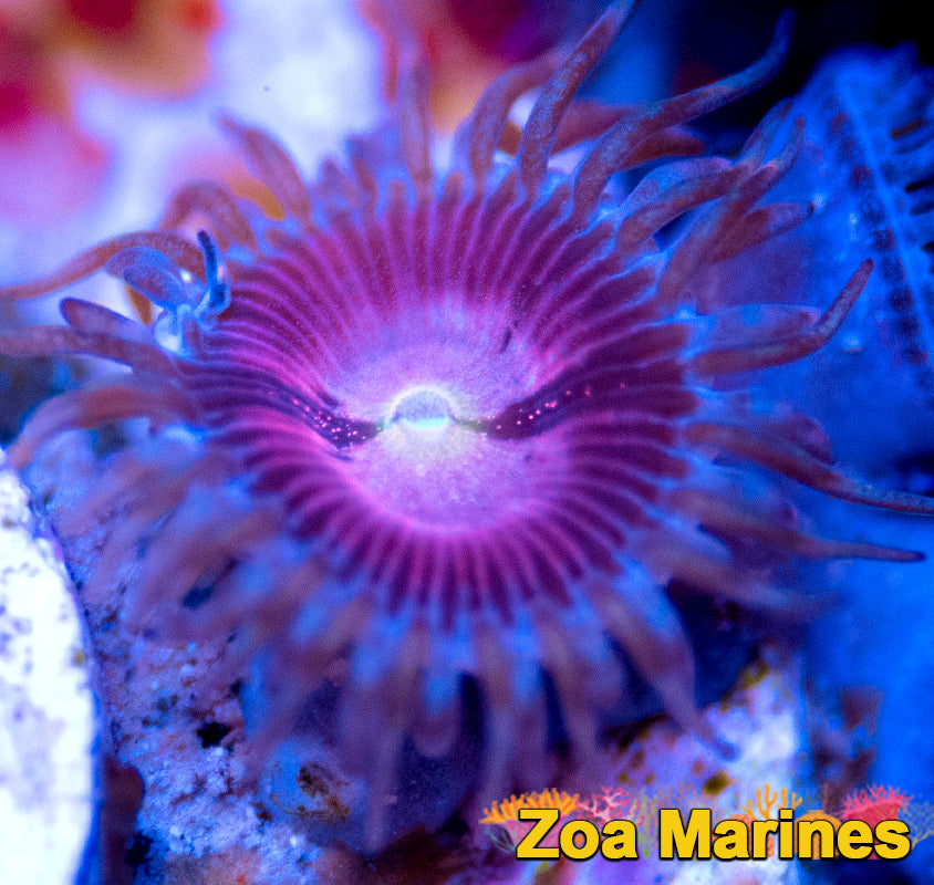 Zoa 'Purple Bees' Single Head