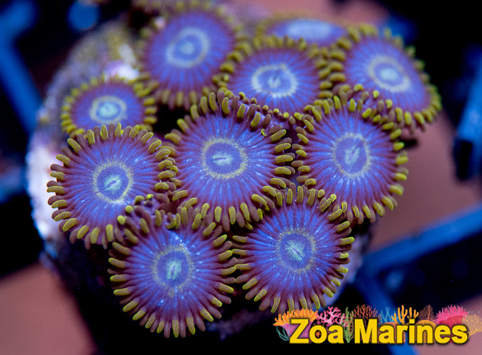 Zoa 'Purple Hornet' Single Head
