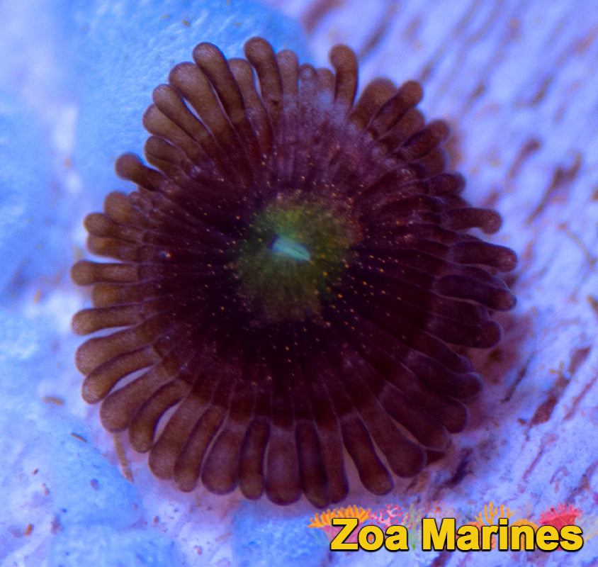 Zoa 'Rainbow Sakura' - Single Head
