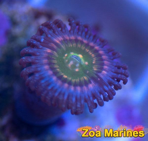 Zoa 'Rainbow Woodstocks' Single Heads