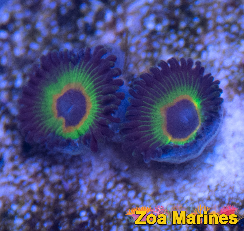Zoa 'Rasta Cousins' Single or Double Heads