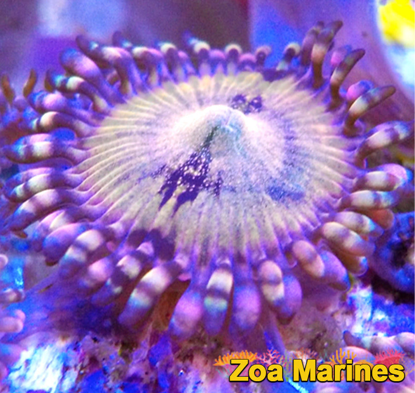 Zoa 'Sakura Sunrise' Singles to Treble Heads
