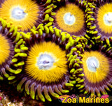Zoa 'Scrambled Eggs' 1-5 Heads