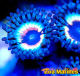 Collectors Zoa 'Sonic Flares' 1 Head on Plug