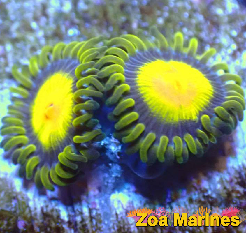 Zoa 'Tutti Frutti' Single Head