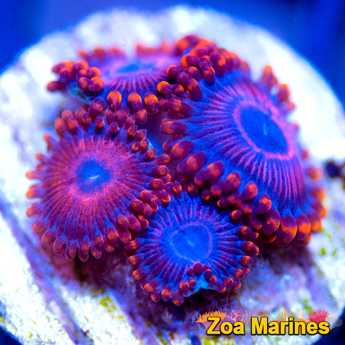 Zoa 'Twizzler' 3 or 5 Headers.
