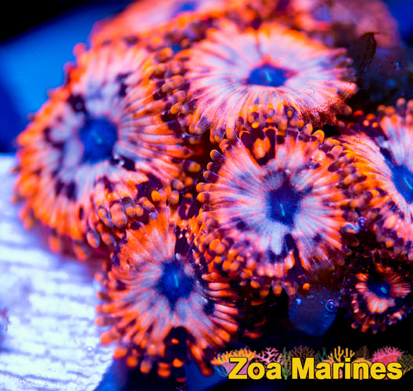 Zoa Lovely Orange Morph 'Utter Chaos' (Single Polyp)