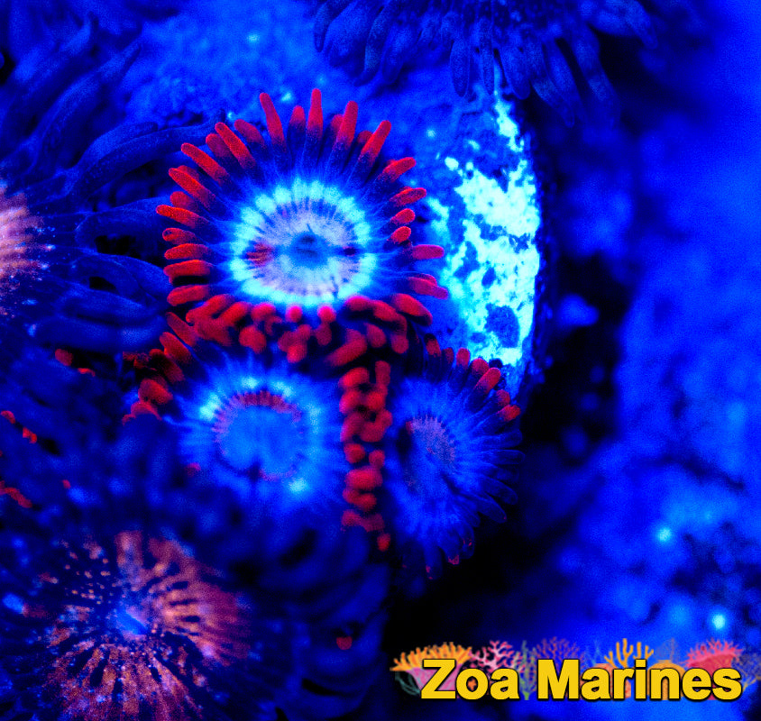 Lovely Red Zoa 'Alpha and Omega' on Plug