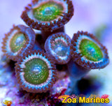 Zoa 'ARC Woodstock' 1 Head on Plug