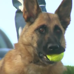 Video: Abandoned Army Bomb-Sniffing Dog Reunited with Handler
