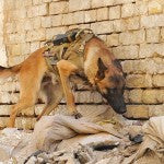 Group Seeks Veterans to Adopt Military Dogs
