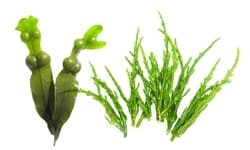Sea Fennel and Fucus Extract