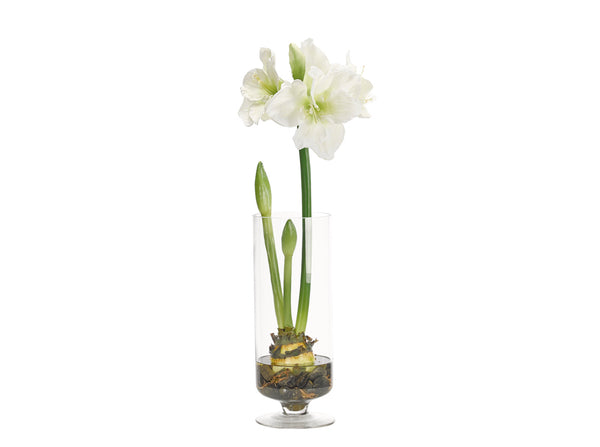 Amaryllis Bulb in Glass