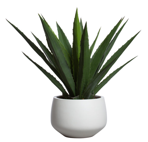 Aloe in White Sandstone Pot