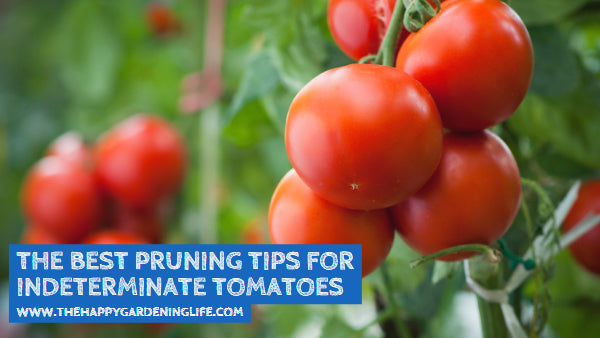 The Best Pruning Tips for Indeterminate Tomatoes