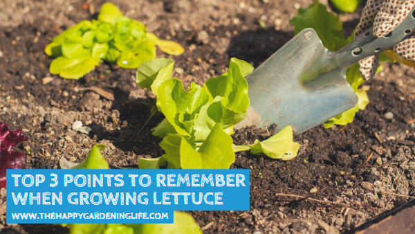 Top 3 Points to Remember When Growing Lettuce