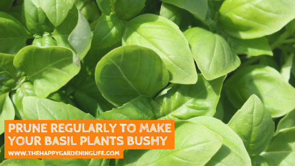 Prune Regularly to Make Your Basil Plants Bushy – Watch This for Some Basic Basil Pruning Tips!