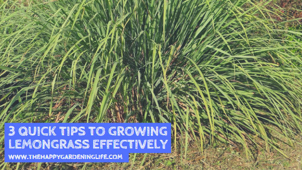 3 Quick Tips to Growing Lemongrass Effectively