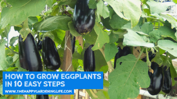How to Grow Eggplants in 10 Easy Steps