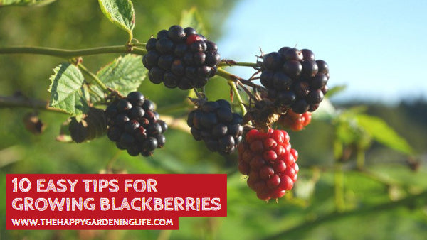 10 Easy Tips for Growing Blackberries