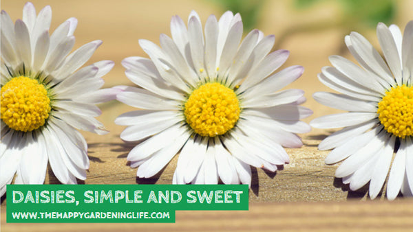 Daisies, Simple And Sweet