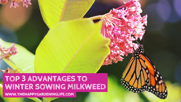 Top 3 Advantages to Winter Sowing Milkweed