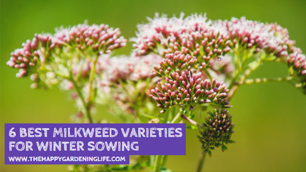 6 Best Milkweed Varieties For Winter Sowing