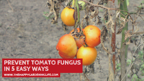 Prevent Tomato Fungus in 5 Easy Ways