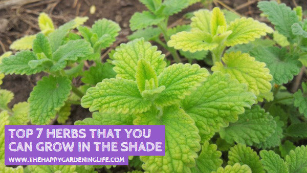 Top 7 Herbs That You Can Grow in the Shade