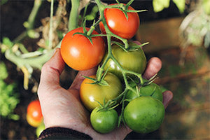 Top 5 Secrets To Successful Tomato Growing The Happy Gardening Life