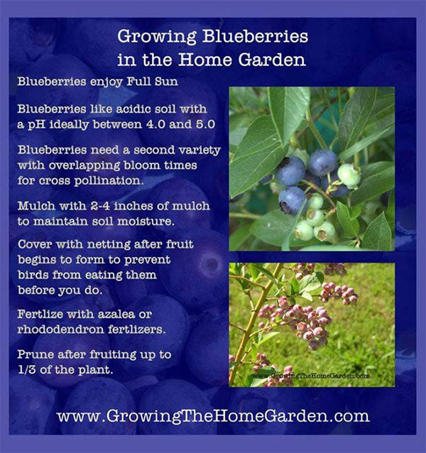 simple-tricks-for-growing-blueberries