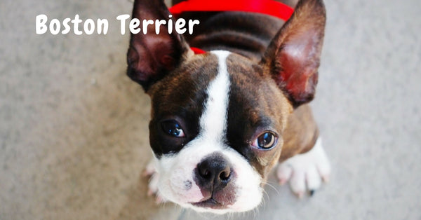 Browse our Boston Terrier Collection