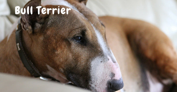 Browse our Bull Terrier Collection