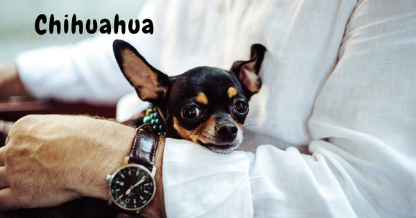 Browse our Chihuahua Collection
