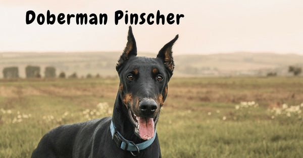 Browse our Doberman Pinscher Collection