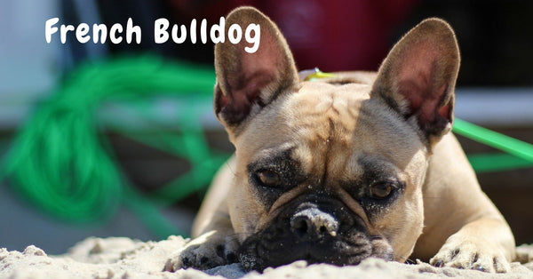 Browse our French Bulldog Collection