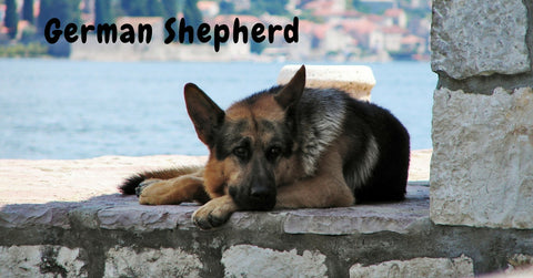 Browse our German Shepherd Collection