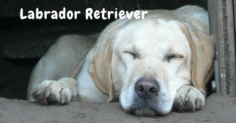 Browse our Labrador Retriever Collection
