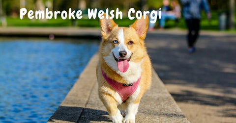 Browse our Pembroke Welsh Corgi Collection