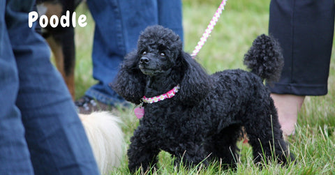 Browse our Poodle Collection