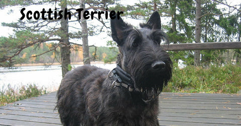 Browse our Scottish Terrier Collection