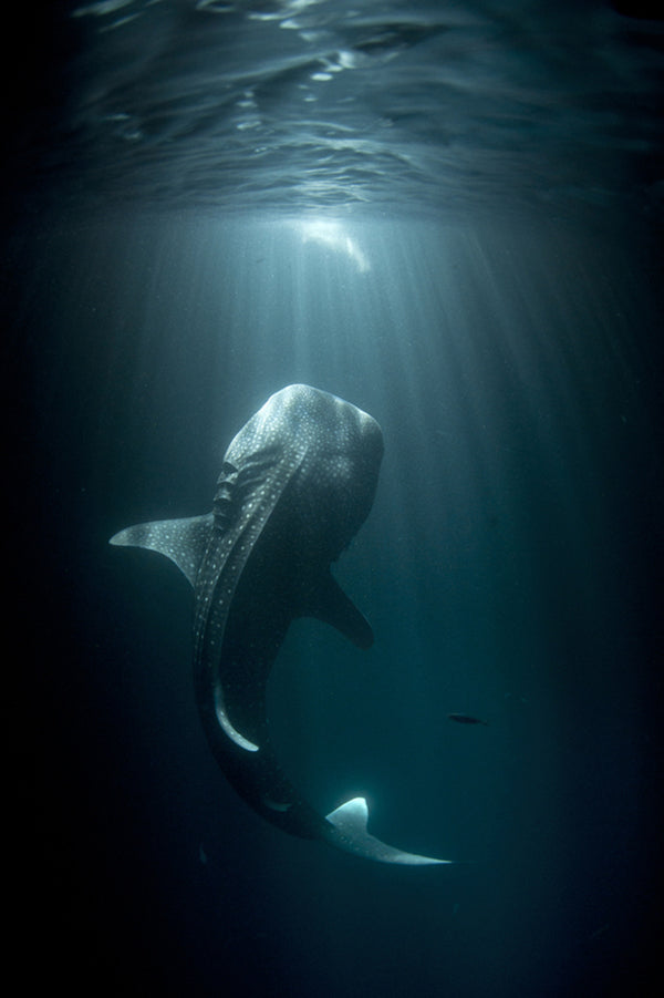 In the deep sea: whale shark