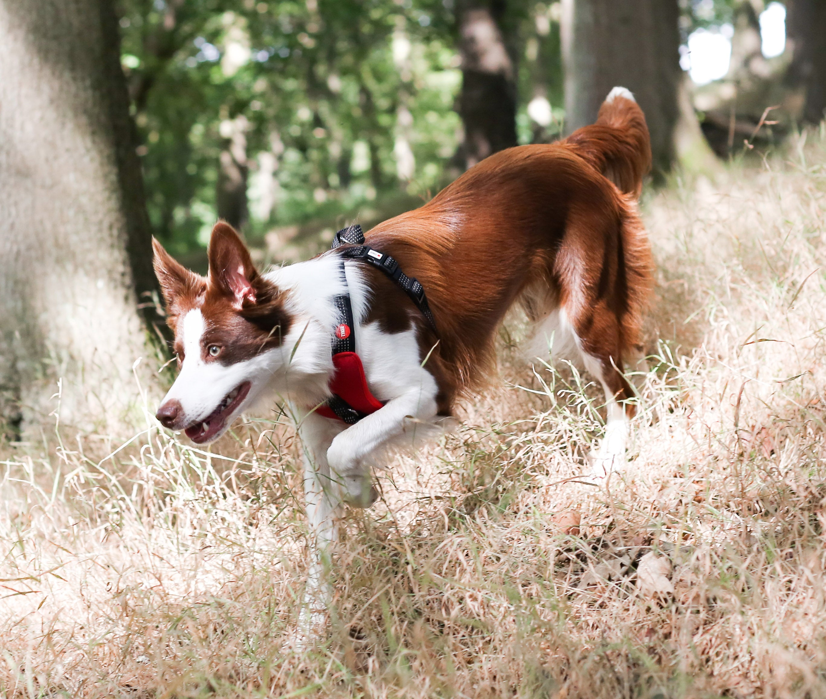 border collie wearing red dog harness