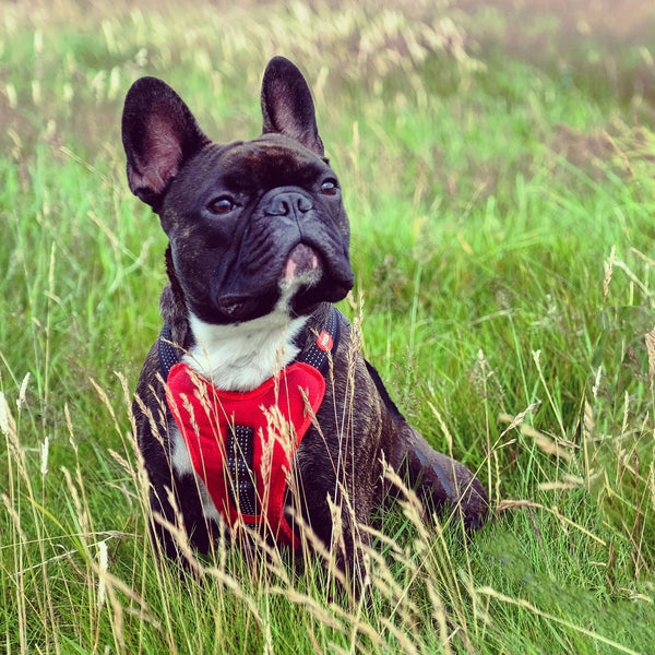 french bulldog wearing padded chest red harness