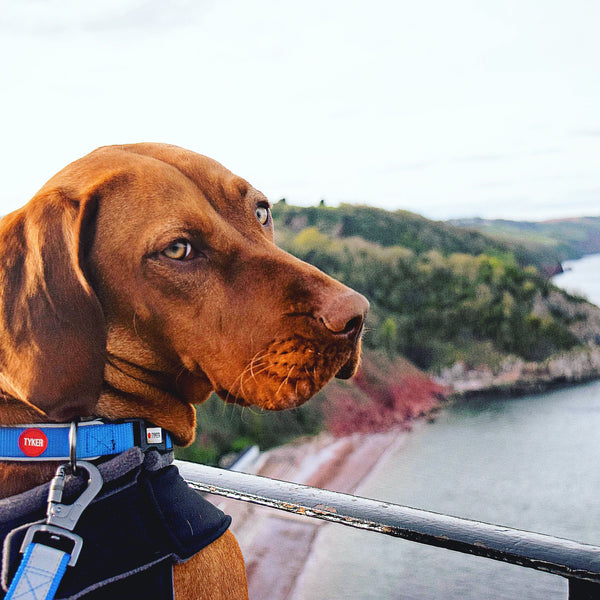 golden vizsla wearing a reflective blue dog collar