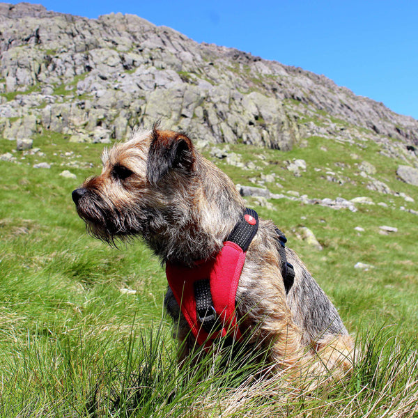 border terrier wearing a padded red dog harness