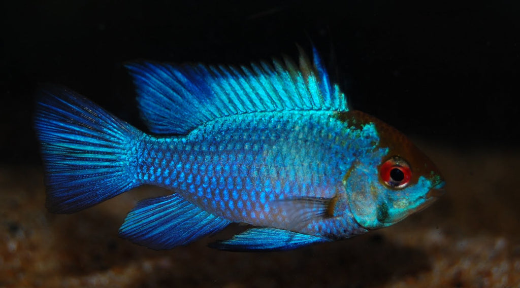 I just got a pair of beautiful Blue Rams from my local fish store. How do i get them to breed? - Art P.