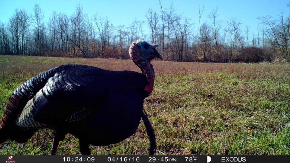 Running Trail Cameras for Turkeys - Gobble Gobble!
