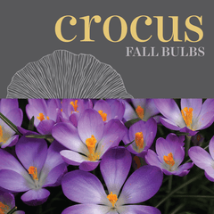 Sweetpea's - Shop Crocus Bulbs